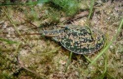 画像1: ヨーロッパカブトエビ 卵
