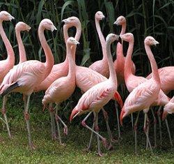 画像1: チリーフラミンゴ 国産