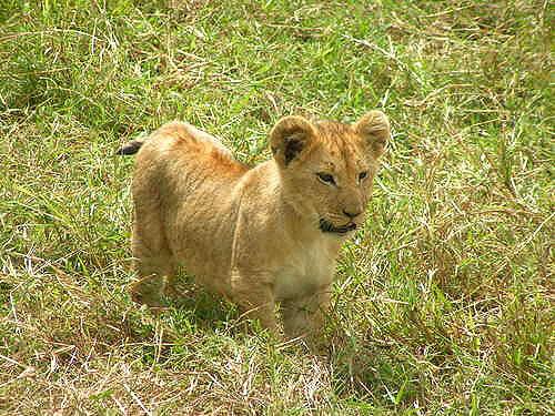 ライオンの画像 p1_8