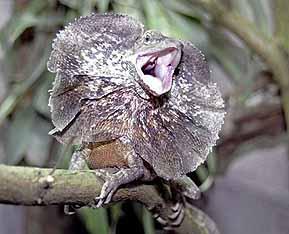 エリマキトカゲの画像 p1_7