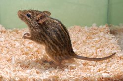 画像1: アフリカゼブラマウス