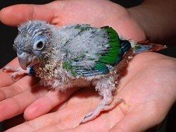 画像1: ホオミドリアカオウロコ 雛