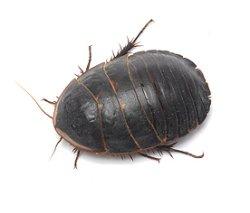 画像1: Polyphaga obscura