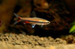 画像1: ゴールデンペンシルフィッシュ 若魚 5匹
