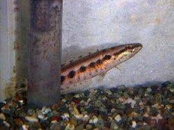 画像1: アーモンドスネーク 幼魚