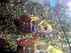 画像1: オスカー 幼魚