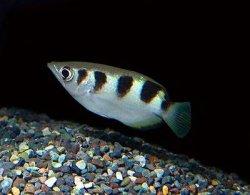 画像1: アーチャーフィッシュ [鉄砲魚]