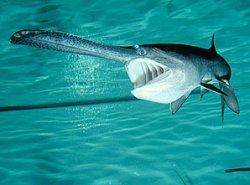 画像1: ヘラチョウザメ