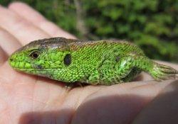 画像1: ニワカナヘビ