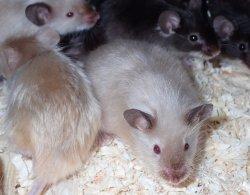 画像1: サテンマウス 国産