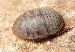 画像1: エジプトサバクゴキブリ