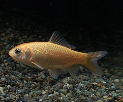 画像1: ヒブナ 魚取沼系統維持血統