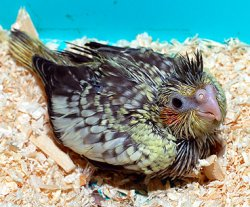 画像1: オカメインコ幼鳥