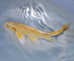 画像1: 黄金 ヒレナガ鯉