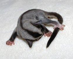 画像1: フクロモモンガ ♀ 赤ちゃん
