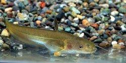 画像1: ビワコオオナマズ幼魚