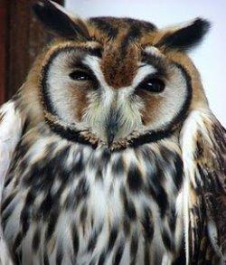 画像1: ウサギフクロウ