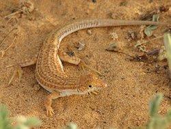 画像1: アミメヘリユビナカナヘビ