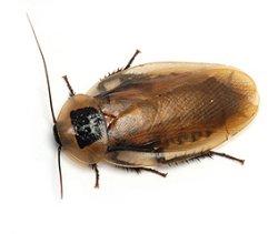 画像1: Blaberus discoidalis