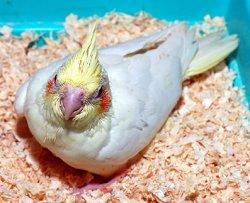 画像1: 白オカメインコ幼鳥