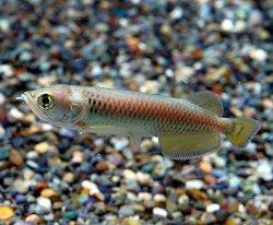 画像1: ノーザンバラムンディ幼魚