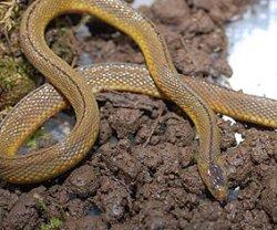 画像1: タカチホヘビ