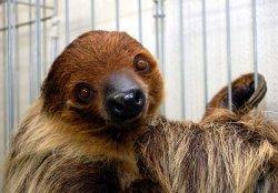 画像1: フタユビナマケモノ南米