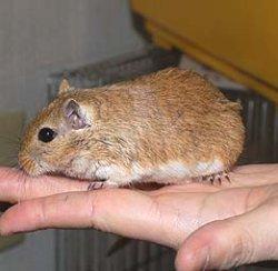 画像1: サンドジャービル原種