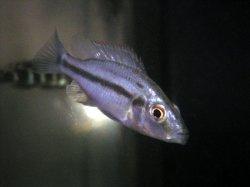 画像1: Dim.コンプレシケプス 幼魚