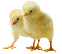 画像1: 餌用初生雛 10羽