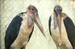 画像1: アフリカハゲコウ