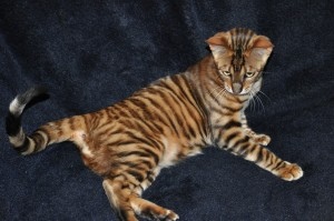 Cheetoh Cat For Sale California